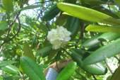 В конце июня доцветает рододендро фори